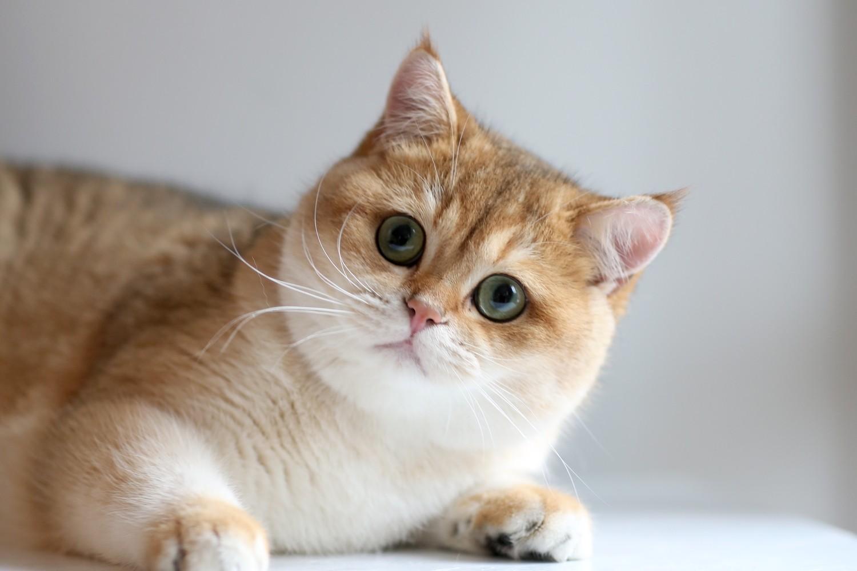 Окрас и особенности характера кошек. Золотистая кошка