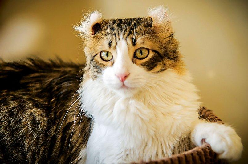 Породы котов. Американский керл