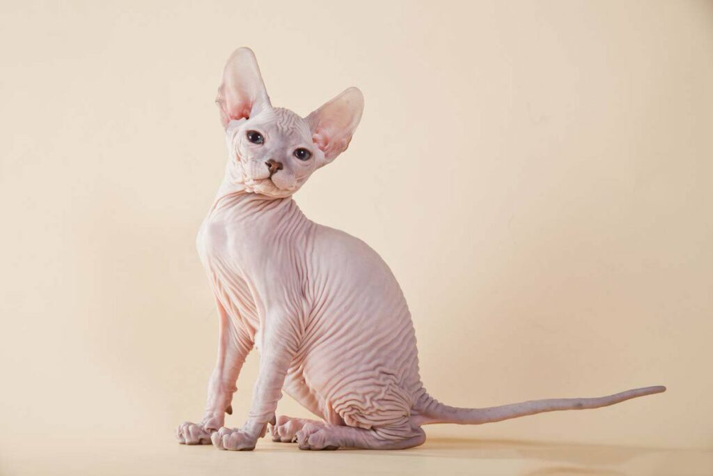Особенности ухода за кошками породы сфинкс