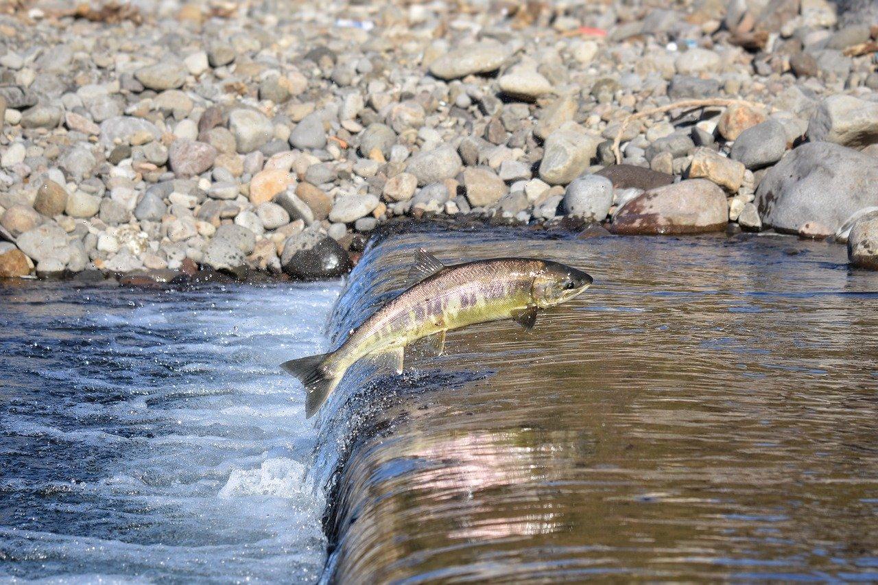 Как отличить дикую морскую рыбу от рыбы, выращенной в неволе?