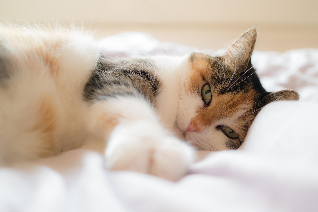 Кошачья чума: признаки, лечение и профилактика