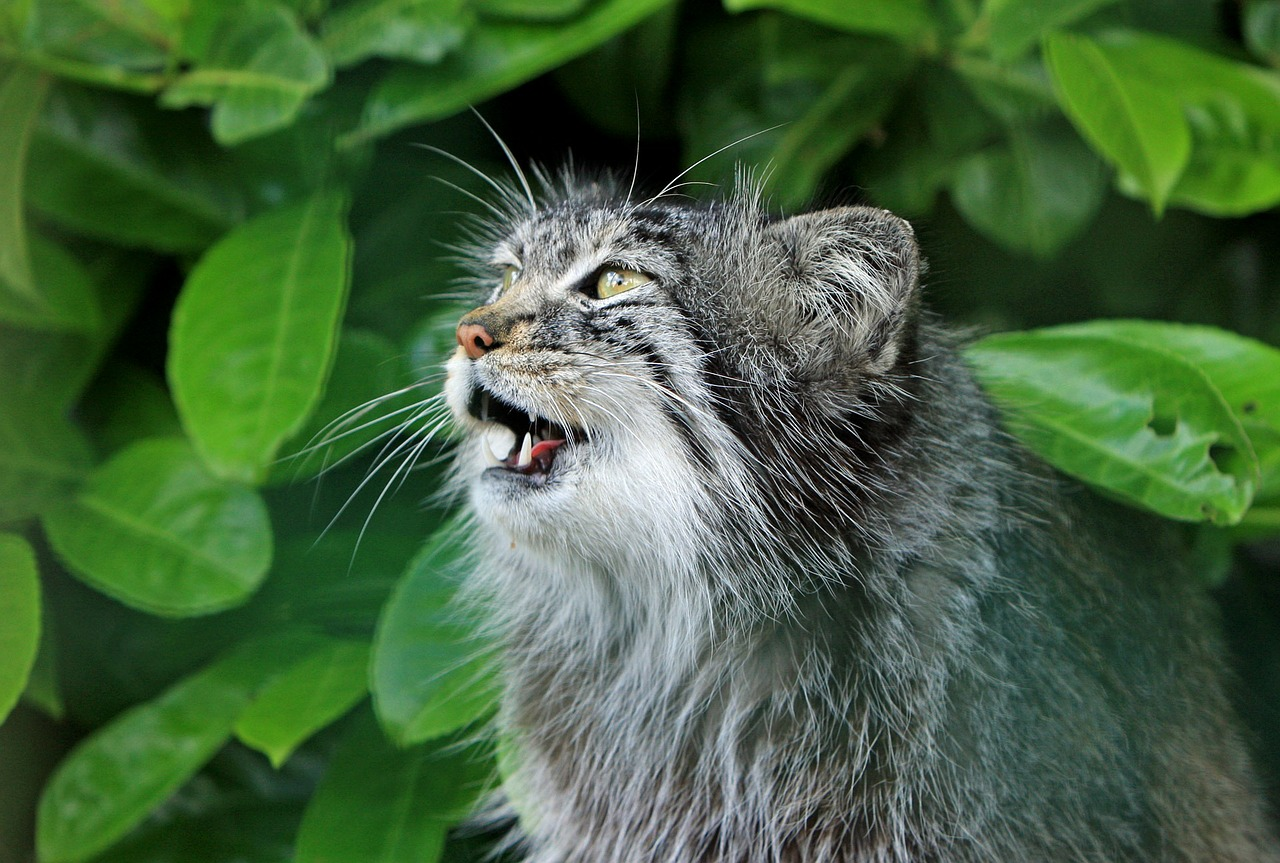 Можно ли держать дома дикого кота манула?