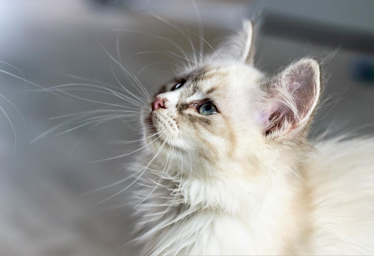 Как открыть питомник и заработать на кошках?