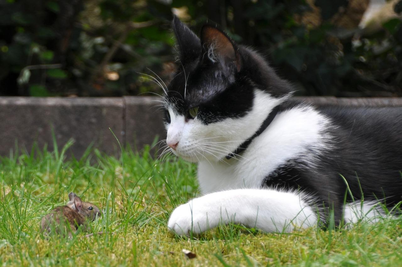 Почему коты ловят, едят мышей и безопасна ли такая охота?