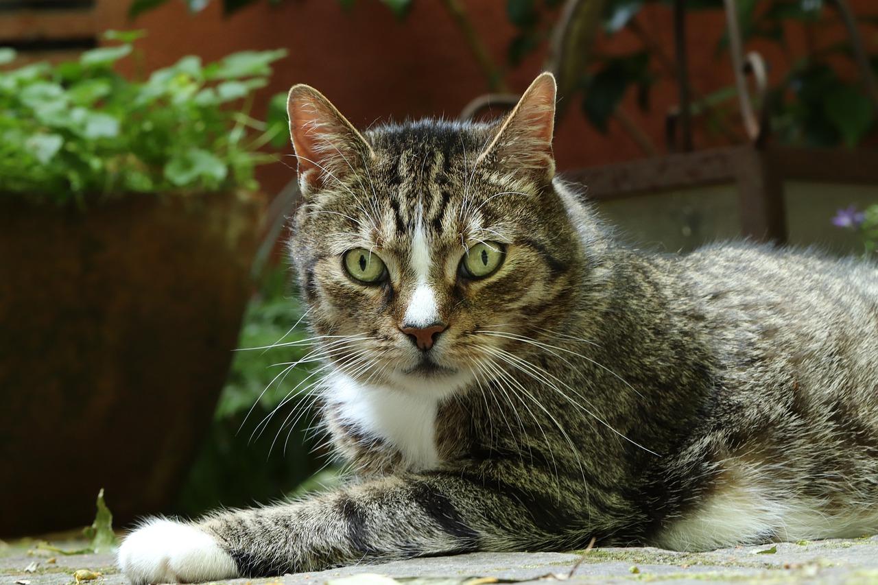 Отодектоз - ушной клещ у кошек