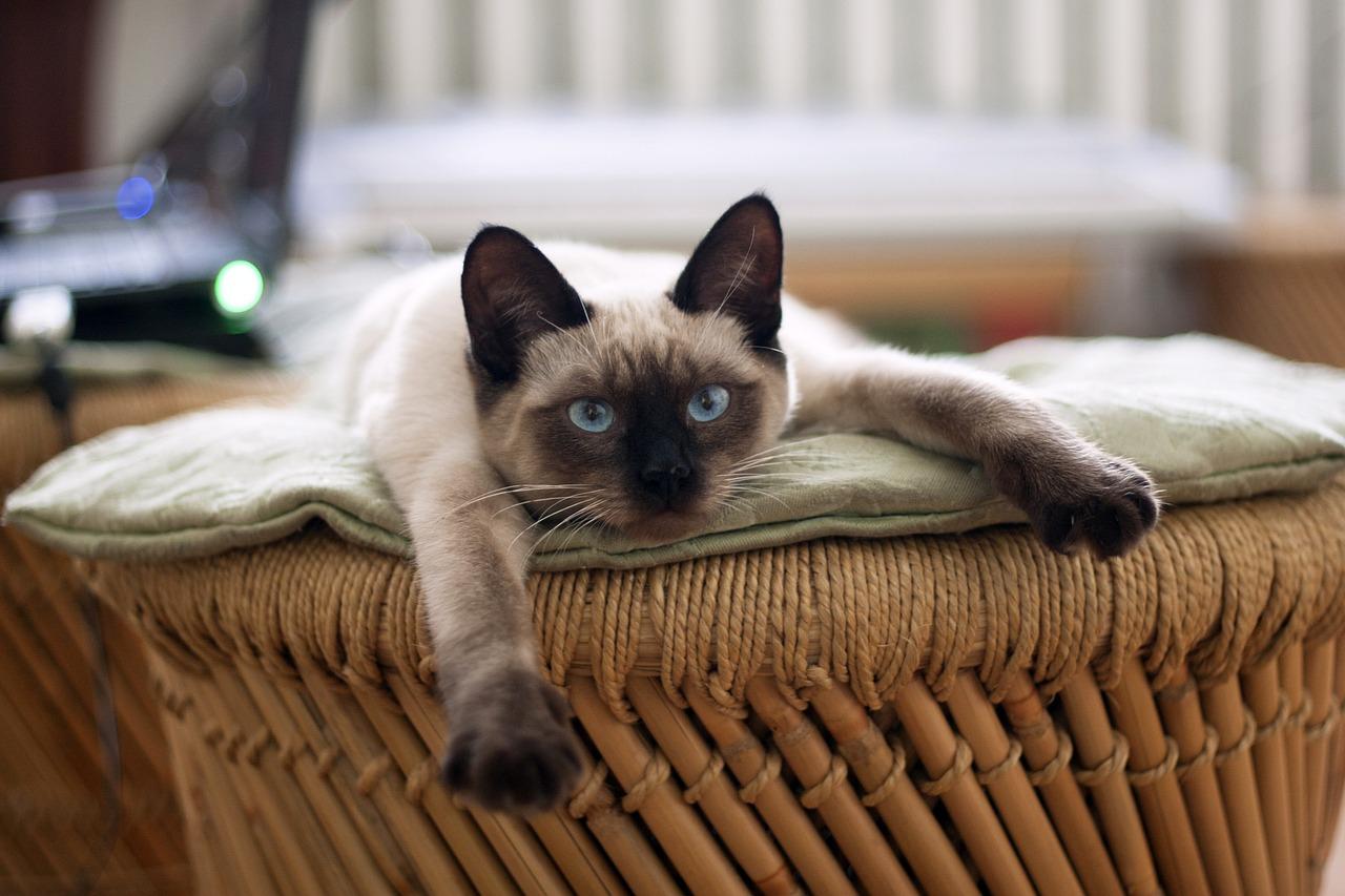 Базовый уход за сиамскими кошками