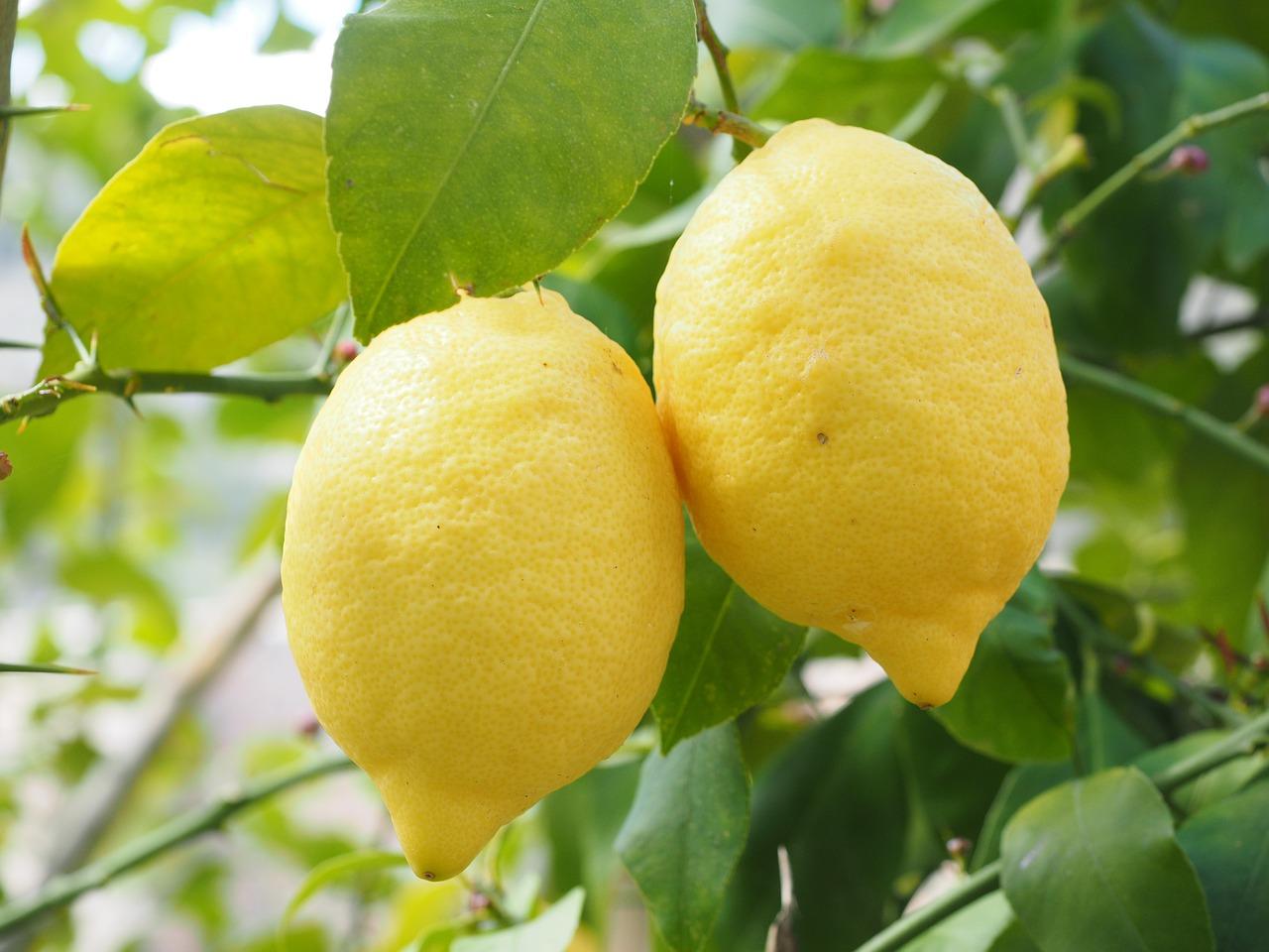 Домашний лимон и правила ухода за ним