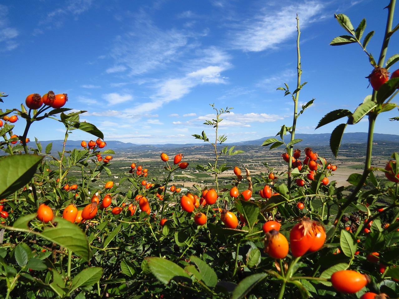 Кусты шиповника: не только красиво, но и полезно