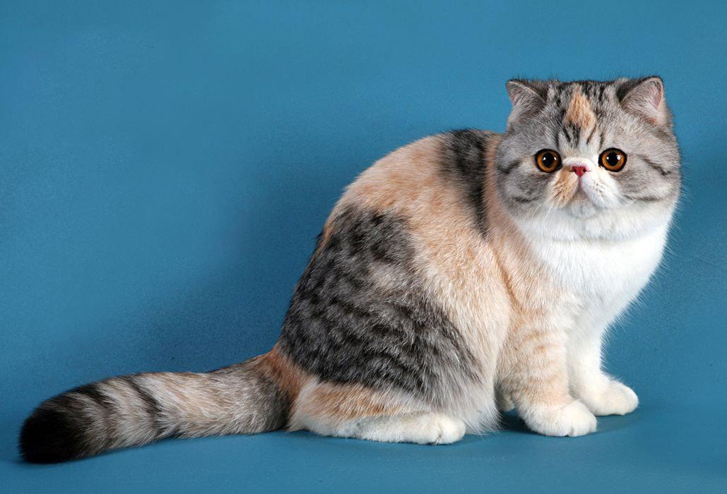 Породы котов. Экзотическая кошка
