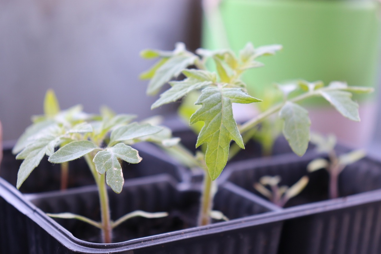 Как правильно приготовить землю для рассады помидоров?