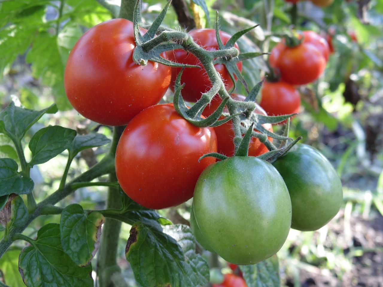 Какие растения необходимо посадить рядом с томатами?